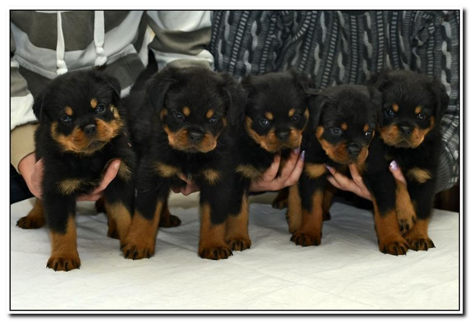 1396438475_625157376_1-Pictures-of--5-lovely-rottweiler-for-sale-good-family-pet_logo.jpg